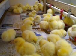Цыплята-бройлеры: выращивание в домашних условиях