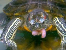 Чем кормить черепаху в домашних условиях